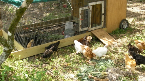 "Our rolling ""Chicken Tractor"" was their temporary home befor I built their luxury coop called ""Starclucks""..."